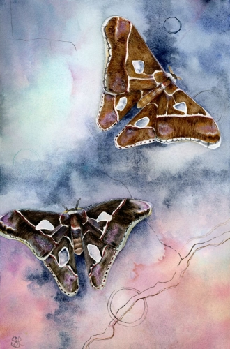 watercolour painting, Rothschild moths
