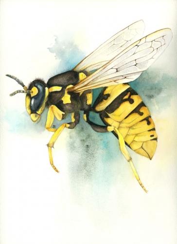 watercolour painting, yellowjacket wasp